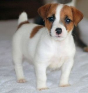 Male and Female Jack Russell Terrier Puppies for sale