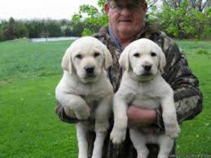 Labrador Retriever Puppies Ready to go for sale..
