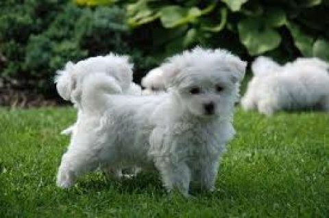 beautiful Healthy Maltese Puppies