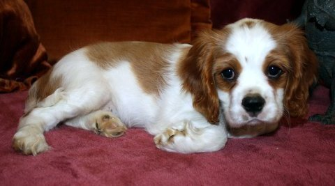 King Charles Spaniel For Re homing