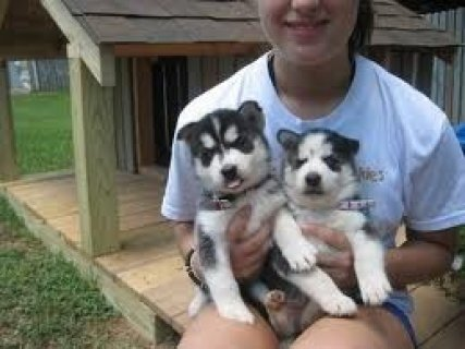 Seberian Husky Puppy FOR Rehoming
