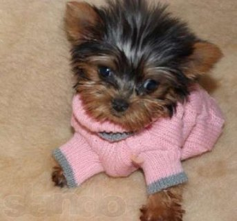 Awesome Yorkie puppies available