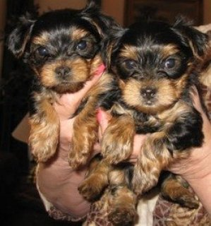 Beautiful teacup Yorkie puppies for adoption.