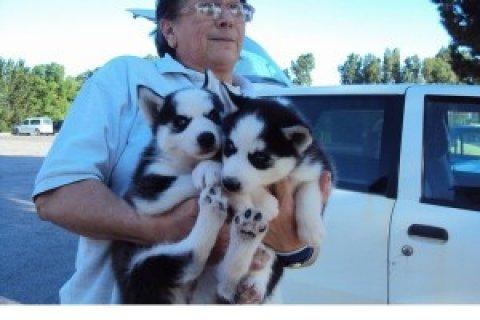 Angel Siberian Husky pups for loving home
