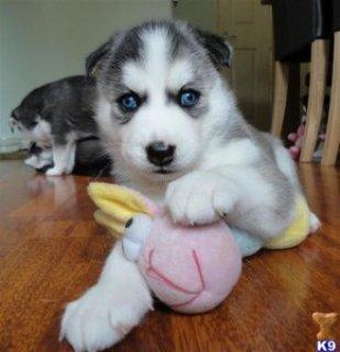 Purebred White Siberian Husky **Stud**