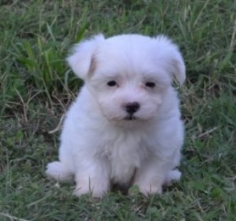 Gorgeous Teacup Maltese puppies for adoption