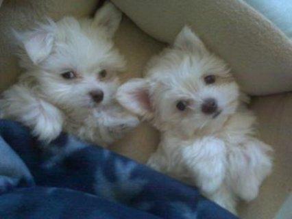 Beautiful little Maltese puppies,