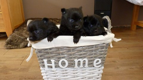 Priceless Male and FemaleBlack Pomeranian Puppy for Sale
