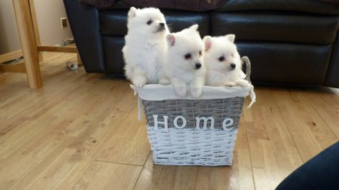 Male and Female White Pomeranian Puppies For Sale