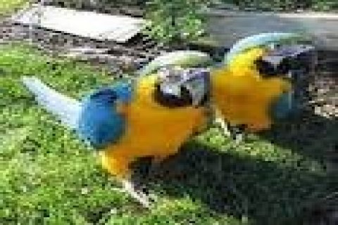 صور Baby Blue And Gold Macaws For Sale 16 Weeks Old 1