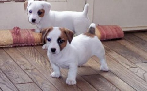 c Adorable Little Jack Russell Puppies for sale