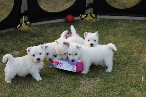 Cute and Adorable west highland terrier puppies for Adoption