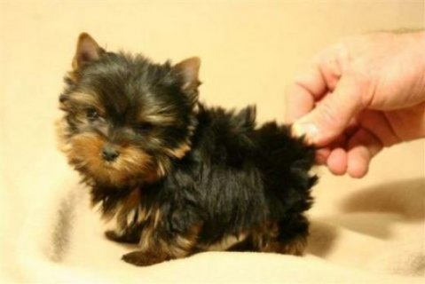 2 Teacup Yorkie Now Available For Rehoming