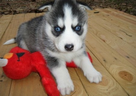 صور 2 New Siberian Husky Puppies with Blue Eyes For Rehoming 1