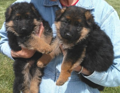Lovely German Shepherd puppies for good family