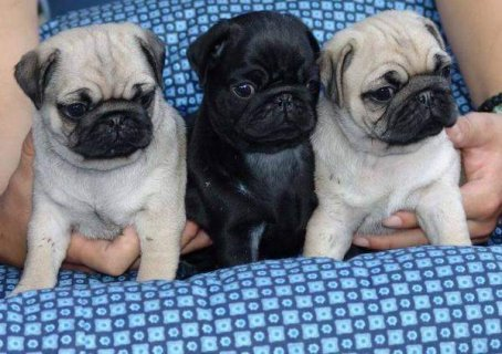 2 Both Black And Grey Pug Puppies Availabe For rehoming