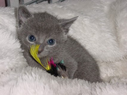 Well Trained and Hand Raised Russian Blue Kitten for Caring Home