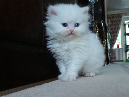 Cute White Male and Female Persian kitten for adoption