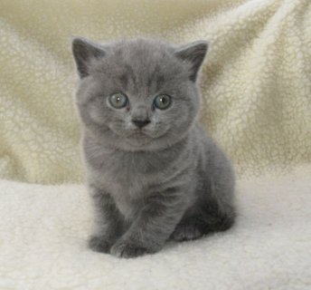 British Short Hair Kittens Available For Rehoming