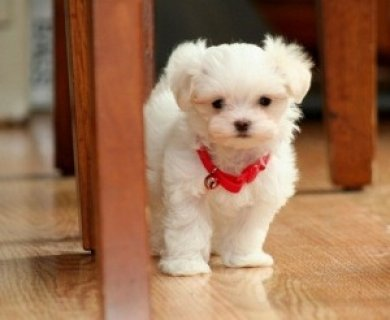 Charming Male and Female Maltese Pups