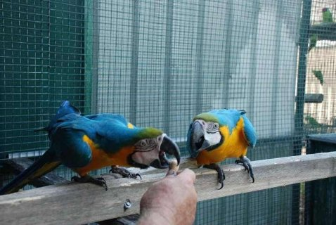 Healthy, trained and tame parrots ready to go to their new home