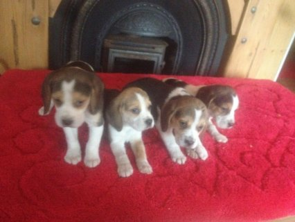 Cute and Charming Beagle Puppies For Sell