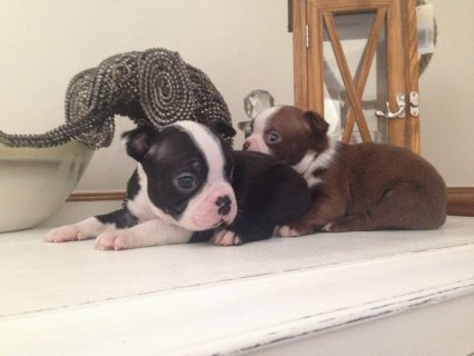 Boston Terriers Puppies For Sell