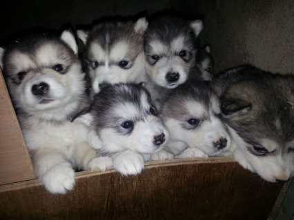 Alaskan Klee Kai Puppies for Sale