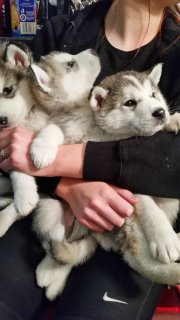 صور Stunning Alaskan Malamute Pups for sell 1