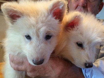 GERMAN SHERPARD PUPS FOR SELL