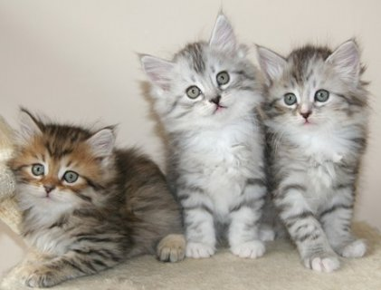 cute male and female Siberian Kittens Available for sale