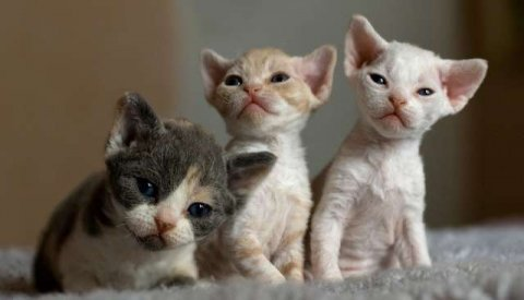 صور Adorable Devon Rex Kittens for sale 1
