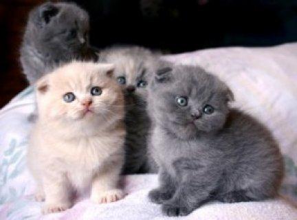 Kittens Scottish fold for Adoption..