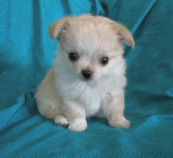 3 T\'cup chihuahua puppies available for your home