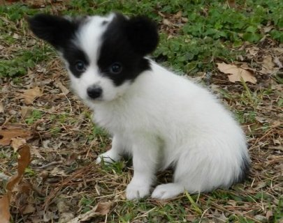Purebreed Papillon Puppies for sale now.