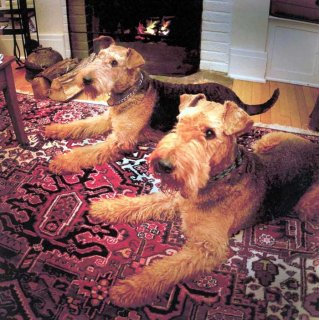 Airedale Terrier puppies ready to go.