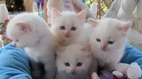 Cute and Lovely Home Raised Ragdoll Kittens For Sale.