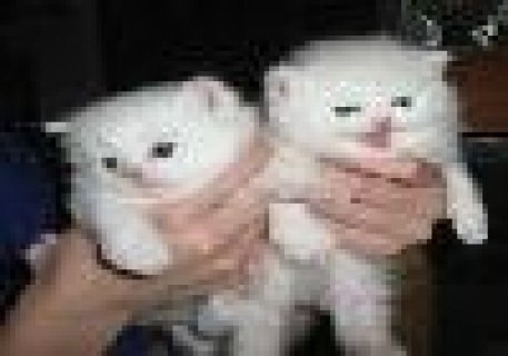 White Persian Kittens for free  adoption