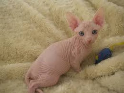 صور Beautiful Sphynx Kittens for sale contact +237 79320405 1