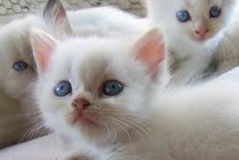 Absolutely Beautiful Persian Kitten for sale