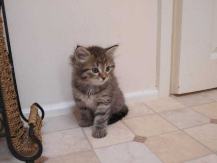 Cute Siberian Kittens ready to go For Good Homes