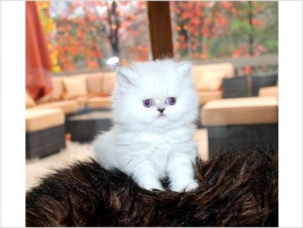White Color Male and Female Persian kitten for adoption
