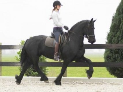 Gorgeous Only Friesian horse for good home