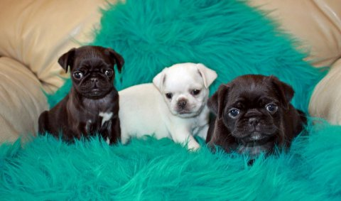 Adorable Healthy Pugs Puppy For Sale