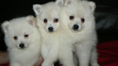 Beautiful Lovely Pomeranian Puppies For Sale