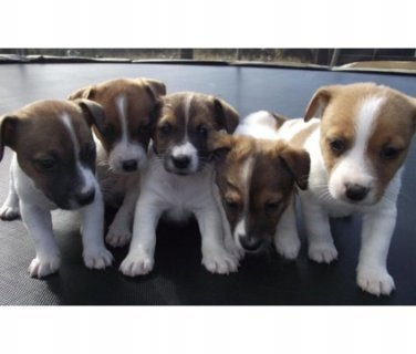 Adorable kid friendly Purebred Jack Russell Puppies,,..