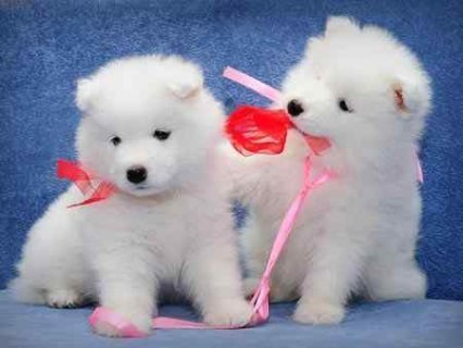 Samoyed puppies for good homes.,.,,,.