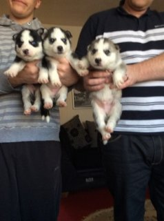 Cute and Adorable siberian husky Puppies for Sale