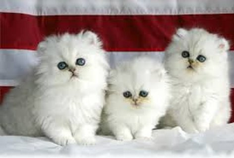 Lovely Ragdoll Kittens For Sale