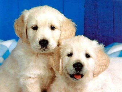 Outgoing Golden retriever Puppies For Rehoming